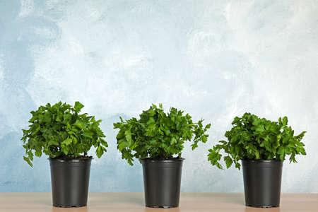 Pots de persil vert frais sur table en bois sur fond de couleur. Espace pour le texte