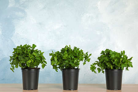 Pots with fresh green parsley on wooden table against color background. Space for text