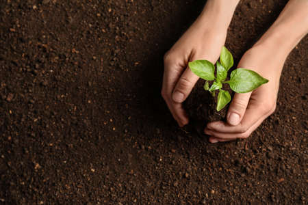 Woman holding green seedling on soil, top view. Space for text Foto de archivo