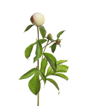 Fragrant peony on white background. Beautiful spring flower