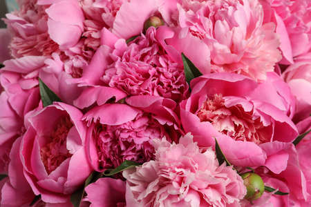 Fragrant peonies as background, closeup view. Beautiful spring flowers