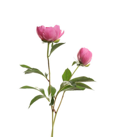 Fragrant peonies on white background. Beautiful spring flowers