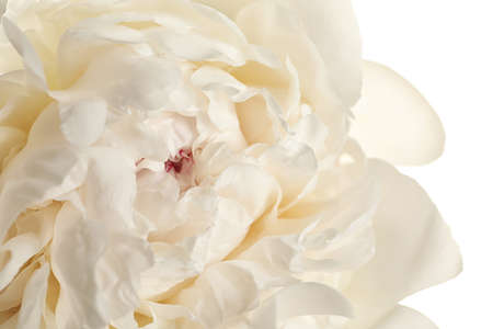 Beautiful fresh peony flower on white background, top view