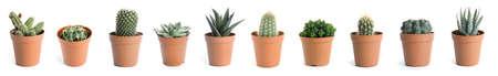 Set of different cactuses on white background. Banner design
