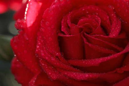 Vista de cerca de la hermosa rosa floreciente como fondo