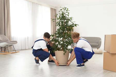 Moving service employees carrying pot plant in room