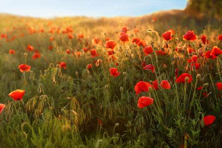 Sonnenbeschienenes Feld mit schönen blühenden roten Mohnblumen und blauem Himmel Standard-Bild