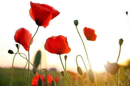 Belles fleurs de pavot rouge en fleurs dans le champ au coucher du soleil