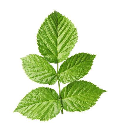 Fresh green raspberry leaves on white background