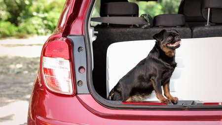 Cute Petit Brabancon dog sitting near suitcase in car trunk Banque d'images