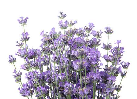Bellissimi fiori di lavanda teneri su sfondo bianco Archivio Fotografico