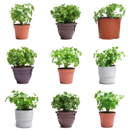 Set of fresh green parsley in different pots on white background Stock Photo
