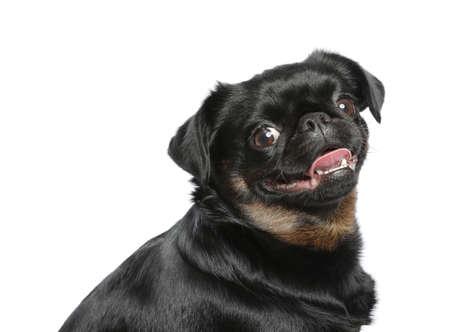 Adorable black Petit Brabancon dog on white background