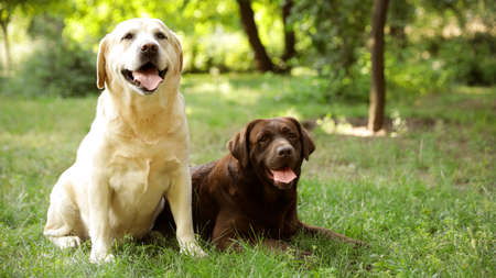 Cute Labrador Retriever dogs on green grass in summer park. Space for text Stock Photo