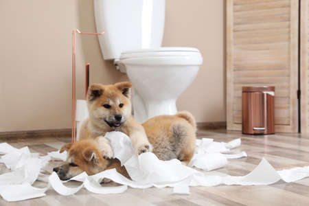 Adorable Akita Inu puppies playing with toilet paper at home