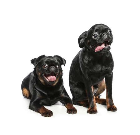 Adorable black Petit Brabancon dogs on white background