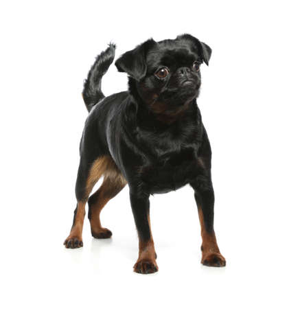 Adorable black Petit Brabancon dog standing on white background 写真素材