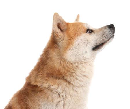 Cute Akita Inu dog isolated on white