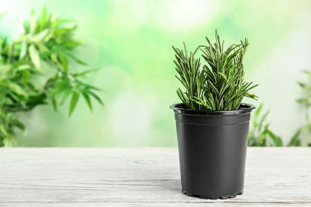 Potted rosemary on white table against blurred green background, space for text