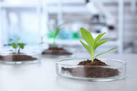 Green plant in Petri dish on table in laboratory. Biological chemistry Archivio Fotografico