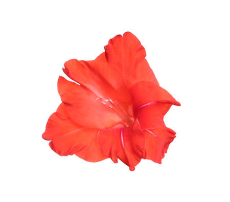 Beautiful red gladiolus flower on white background Stock fotó - 127815159