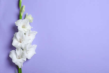 Beautiful white gladiolus flowers on violet background, top view. Space for text Stock fotó