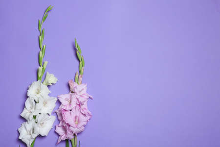 Beautiful gladiolus flowers on violet background, flat lay. Space for text Stock fotó