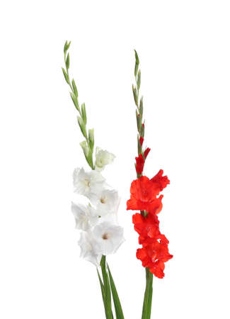 Beautiful color gladiolus flowers on white background