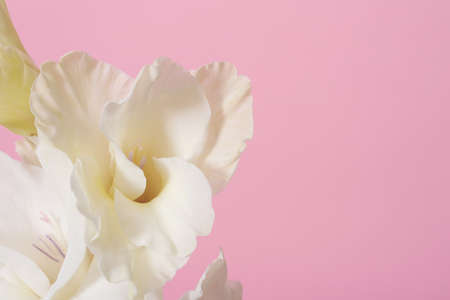 Beautiful white gladiolus flowers on pink background, closeup. Space for text Stock fotó