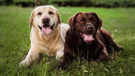 Cute Labrador Retriever dogs on green grass in summer park