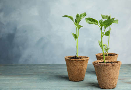 Vegetable seedlings in peat pots on wooden table against blue background. Space for text Stock fotó