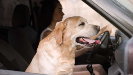 Funny Golden Labrador Retriever dog and young woman in modern car Stock Photo - 128519787