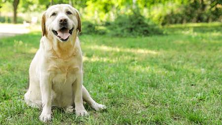 Cute Golden Labrador Retriever on green grass in summer park