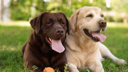 Cute Labrador Retriever dogs with toy ball on grass in summer park