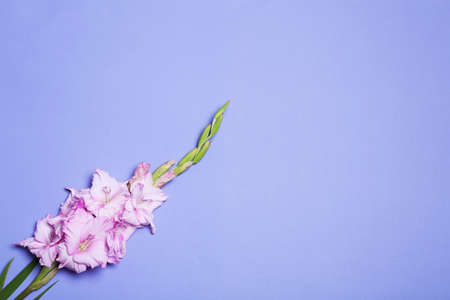 Beautiful gladiolus flowers on violet background, top view. Space for text Stock fotó