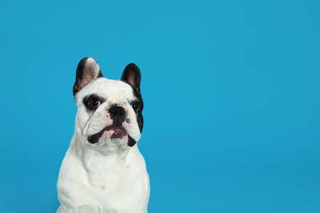 Französische Bulldogge auf blauem Hintergrund. Platz für Text