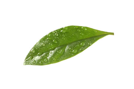 Fresh green coffee leaf with water drops isolated on white