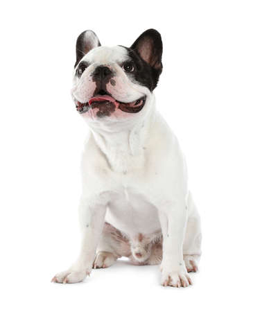 French bulldog on white background. Adorable pet