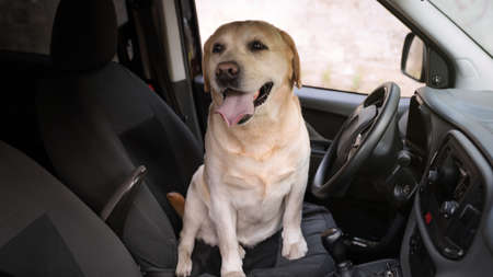Funny Golden Labrador Retriever dog sitting in drivers seat of modern car Stock Photo