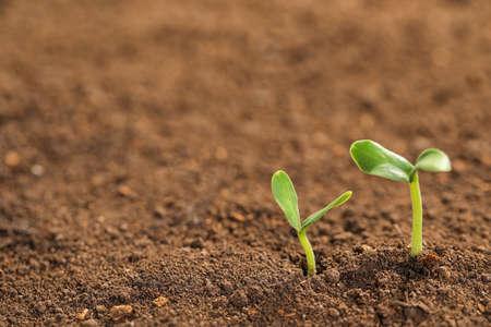 Pequeñas plántulas verdes que crecen en suelo fértil. Espacio para texto Foto de archivo