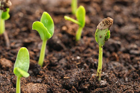 Little green seedlings growing in fertile soil