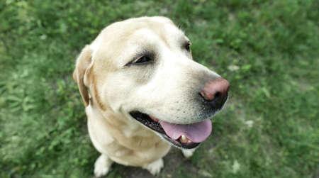 Cute Golden Labrador Retriever in green summer park, above view Stock Photo