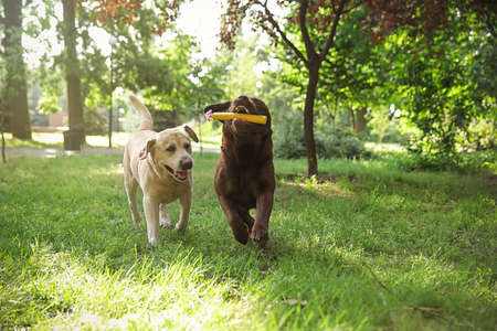 Funny Labrador Retriever dogs playing in summer park