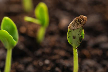 Little green seedlings growing in fertile soil, closeup. Space for text