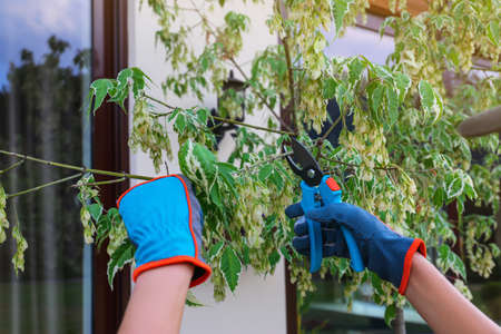 Woman trimming young tree branches outdoors, closeup. Home gardening