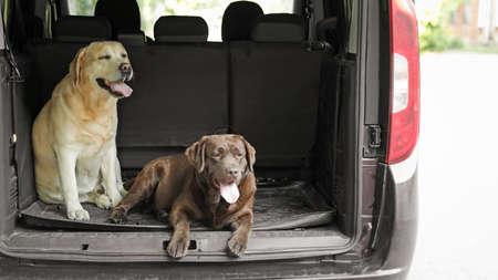 Funny Labrador Retriever dogs in car trunk