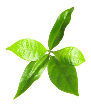 Verse groene koffie bladeren geïsoleerd op wit Stockfoto