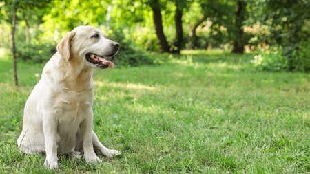 Cute Golden Labrador Retriever on green grass in summer park Stock Photo - 128458256