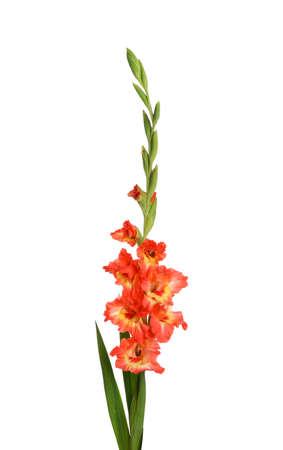 Beautiful fresh gladiolus flowers on white background Stock fotó