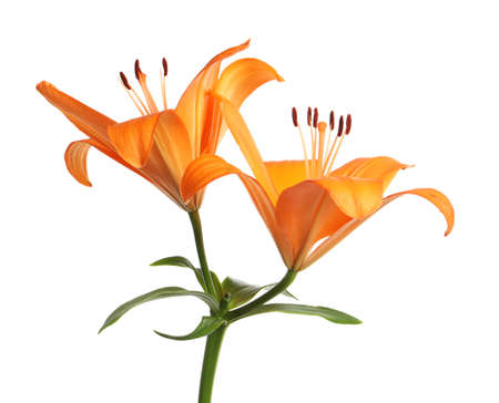 Beautiful fresh orange lilies on white background